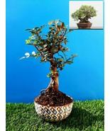 Bonsai Pistacia lentiscus Exotic plant Mastic Tree Very old plant - $81.87