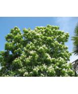 25 Pcs Seeds Hovenia Dulcis Japanese Raisin Tree Oriental Honey Flower - DL - $16.00