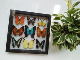 Real Mix Weiskei Beautiful Butterfly For Sale in Frame Display Insect Ta... - $92.22