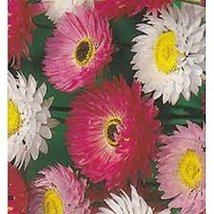 50 Paper Daisy Helipterum (Mixed Colors) Seeds - $6.93