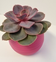 """Live Succulent in Red Self-Watering Pot - Echeveria Red Sky, 3"""" Plastic Planter image 8"""
