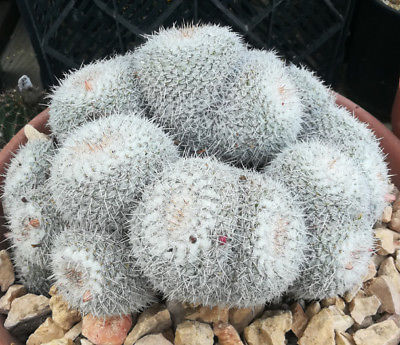 Mammillaria parkinsonii Large Mound of Splitting Heads Cactus 73