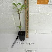 WHITE WEIGELA  (Weigela florida white) image 3