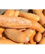 Jumbo Pink Banana Winter Squash Seeds - 25 Count Seed Pack - Non-GMO - a... - $1.59