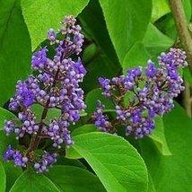 5 Seeds of Cornutia Grandifolia Jamaican Lilac - $27.70