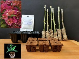Rooting Kit 6 Green Bougainvillea 'Camarillo Fiesta' Tree Cutting Do it ... - $43.10