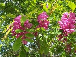 4 Variety Very Fragrant Arnot Bristly Locust Robinia Fertilis Fresh Seeds #SMA1 - $14.99+