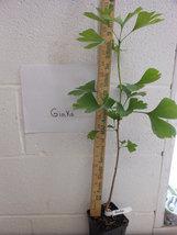 Ginkgo Tree maidenhair  qt. pot (Ginkgo biloba) image 3