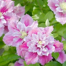 """Piilu Clematis Vine - Heaviest Blooming Clematis - 2.5"""" Pot - Little Duc... - $36.99"""