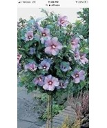 Rose of Sharon Pink Althea - Flowering Shrub Hibiscus - Live Plant - $6.18