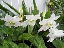 5 Bulbs of Eucharis x grandiflora - $41.58