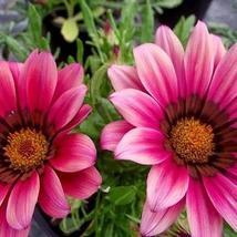 Gazania Kiss Rose Flower Seeds (Gazania Rigens) 10+Seeds - $4.99+