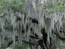 Live Spanish Moss (1 Gallon Bag South Florida) - $12.45