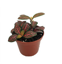 "2.5"" Pot - Mini Red Veined Nerve Plant - Fittonia - Easy House Plant - t... - $47.00"