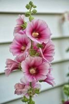 50 Pink Hollyhock Seeds Perennial Giant Flower Seed Flower Tall - TTS - $23.95