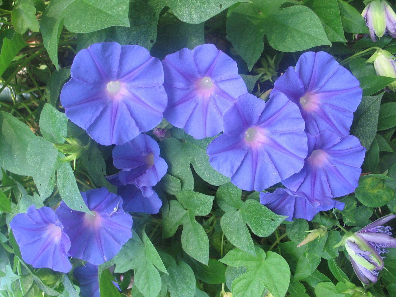 Morning glory acuminata blue dawn perennial and similar items morning glory acuminata blue dawn perennial pint plant free ship izmirmasajfo