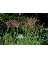 10 Seeds - Zebra Grass Variegated Maiden Grass Miscanthus Sinensis Zebri... - $17.99
