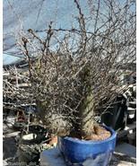 Fouquieria (Idria) columnaris Baja Boojum Tree ... - $1,356.25