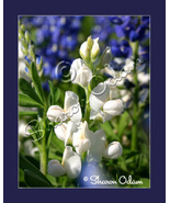 White Texas Bluebonnet - a Rare Site Fine Art Print - $17.50