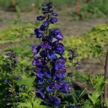 100 Black Knight Delphinium Mix Seeds Perennial Garden Flower Bright - TTS - $23.95