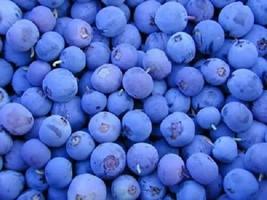 SHIP FROM US 50 NORTHERN HIGHBUSH BLUEBERRY BUSH Fruit Berry Shrub Seeds... - $12.00