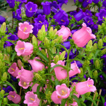 Flower Seeds Peach-leaved Bellflower Mix (Campanula Persicifolia) Perennial - $2.29