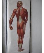 """Magnificent German Muscle Chart """"Die Muskeln des Menschen"""" c1950 - $795.00"""