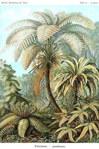 Primary image for Ferns by Ernst Haekel #2 - Art Print