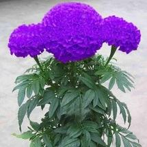 50 Seeds/Pack Hot Sale Rare Purple Maidenhair Seeds Flower Seeds Potted ... - $2.18