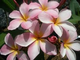Free Bonus + Fragrant Rare Exotic Cancun Pink Plumeria Frangipani cutting - $13.95