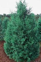 Iowa Juniper - Live Plant in a 6 Inch Pot - Juniperus Chinensis 'Iowa'  - $33.63