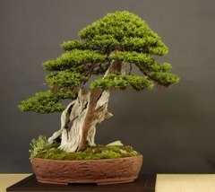 30 Japanese Larch Larix leptolepis Larix Kaempferi Tree Seeds Also For Bonsai - $3.95