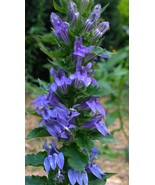 Organic Native Plant, Great Blue Lobelia - $3.50