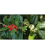 Live Plant - Nellie R Stevens Holly – Potted Plant - Super Roots - 3 Plants - $77.99