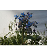 SHIPPED FROM US 50 Borage Edible Blue Flower Seeds, GS04 - $10.96