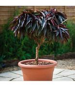 BONFIRE RED Patio Peach Cuttings! - $24.88