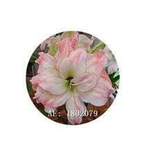 HAPPY FLOWER 2 Bulbs CEMOROKANDANG True Hippeastrum Rutilum Bulbs Amaryl... - $1.69