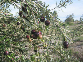 'Mission' - Olea europaea - Live Olive Tree - Outdoor Living - Gardening - $39.99