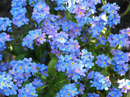 SHIPPED FROM US 200 Packets Forget Me Not Flower Seeds Packs, GS04 - $102.96