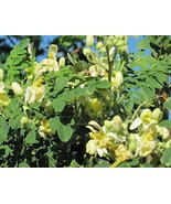 Organic Moringa Tree of Life Horseradish or Drumstick Tree Fresh Non-GMO... - $8.91