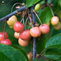10pcs Red Cherry Bonsai Balcony Garden (12), HZ Delicious Fruit Seeds - $8.89