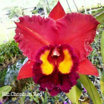 Rhyncattleanthe Blc Chonburi Red CATTLEYA Orchid Plant Pot BS 0509 N image 1