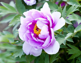 5Pcs Very Enchant Heirloom Light Pink Purple Tree Peony Flower Seeds - $12.93