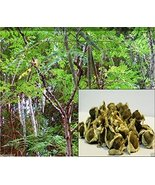 10 Seeds Moringa Seeds-drumstick Tree, Tree of Life or the Miracles Tree... - $10.00