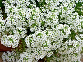 SHIPPED FROM US 4000+DWARF SWEET ALYSSUM Flower CARPET OF SNOW Seeds, CB08 - $17.00