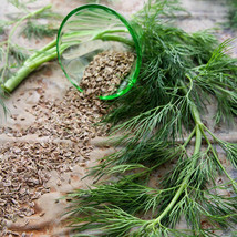 SHIP FROM US DILL, BOUQUET HERB SEEDS - 8 OZ SEEDS - NON-GMO, HEIRLOOM, ... - $69.96