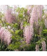 5 Pcs Seeds Wisteria Vine Climbing Pink Ice Perennial Flower - DL - $14.00