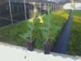 "Green Giant Arborvitae 3"" pot Thunja plicata image 3"