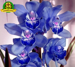 100PC SEED Rare Cymbidium orchid African Cymbidiums seed BLUE ORCHID A - $4.20