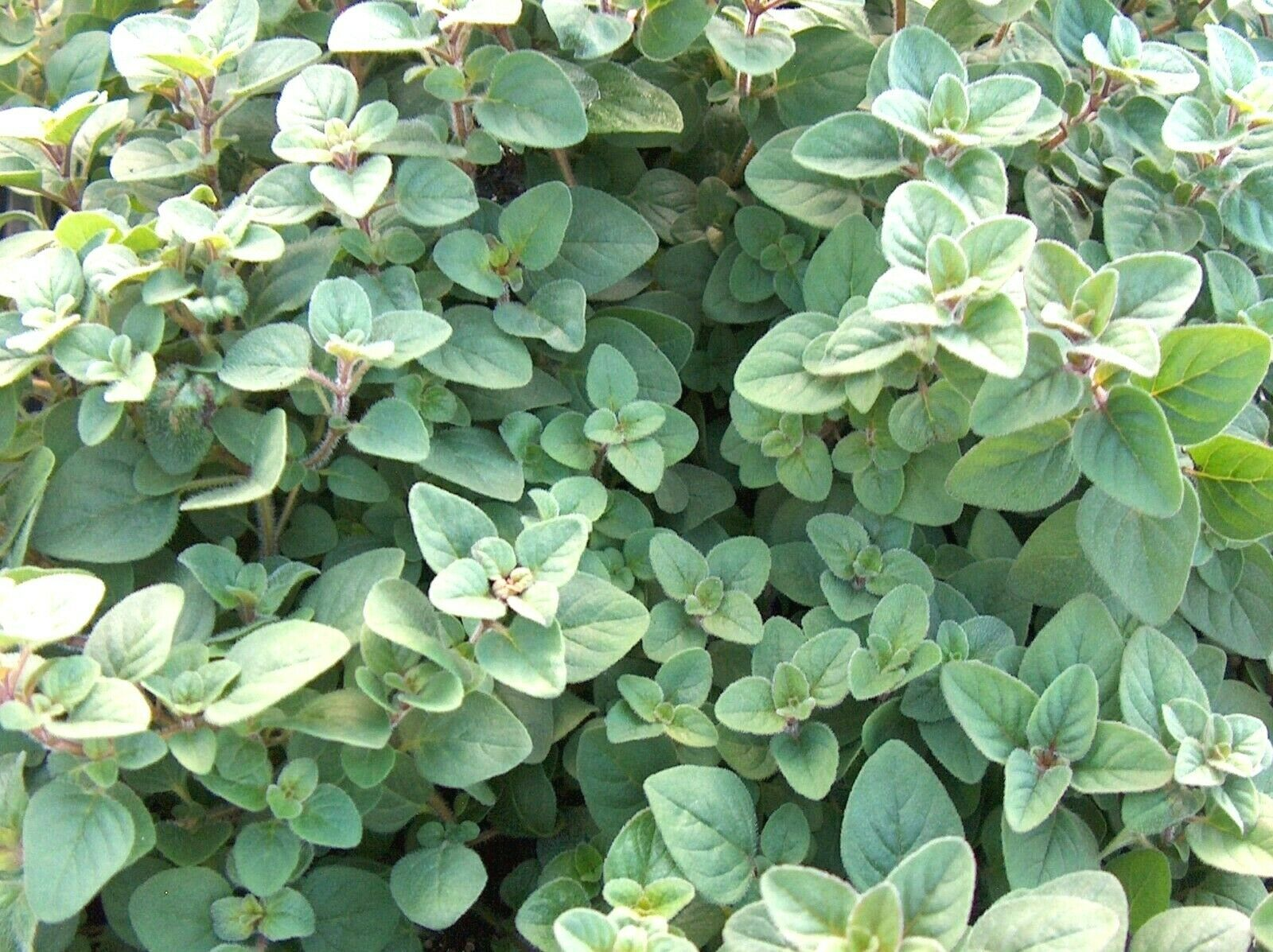 Primary image for SHIPPED FROM US 600+TRUE GREEK OREGANO The Original Strain Seeds, CB08
